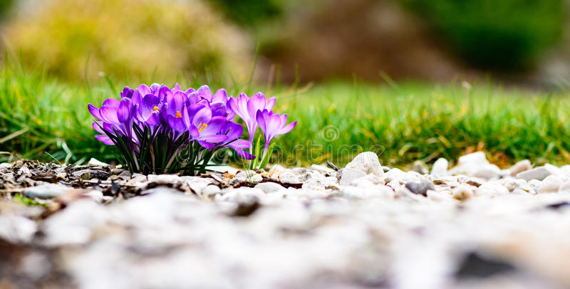 Purple colorful blossom. Early spring photography royalty free stock photo
