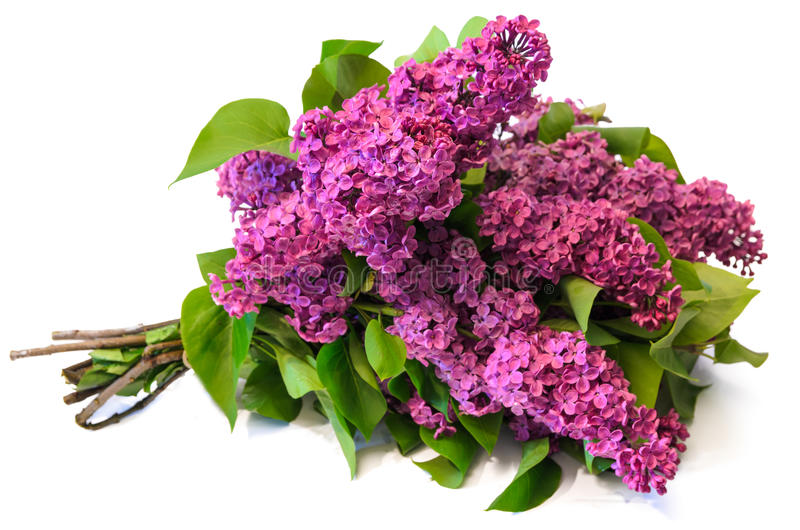 Purple common lilac (syringa) bouquet isolated on white background royalty free stock photos