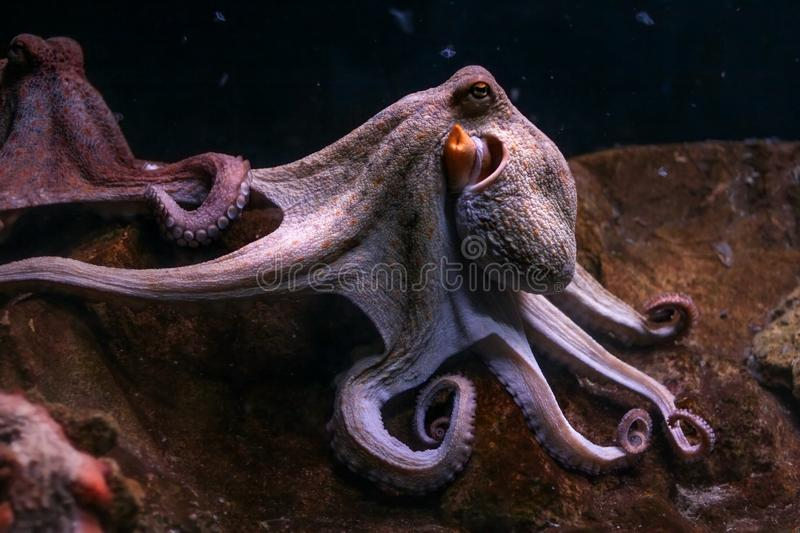 Purple common octopus, tentacles rolled with other one in background. royalty free stock image