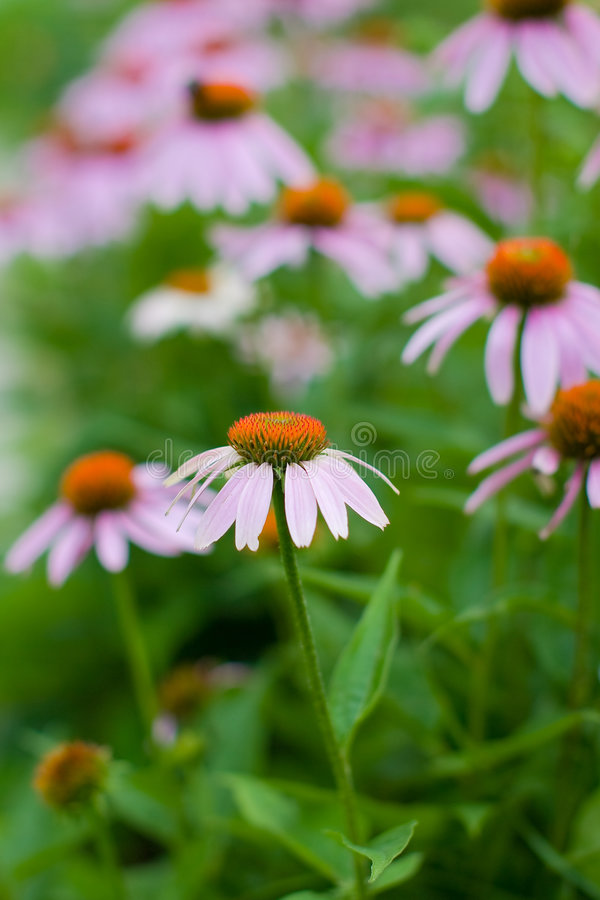Purple Coneflower Stock Image