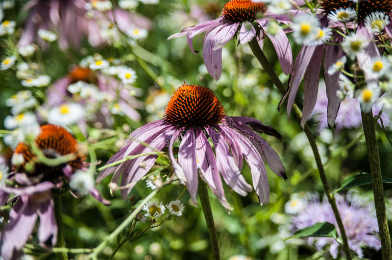 Purple Coneflower royalty free stock photos