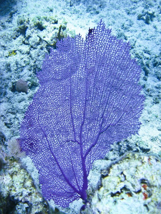 Purple Coral Fan royalty free stock photo