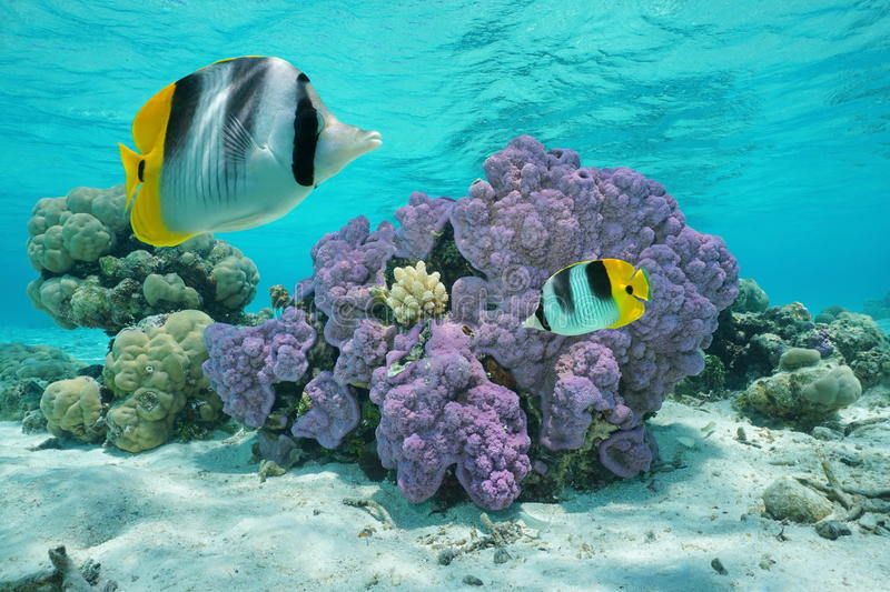 Purple coral underwater with two tropical fish. Double-saddle butterflyfish, Pacific ocean, Huahine island, French Polynesia royalty free stock photos