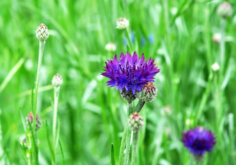 Purple Cornflowers in the summer garden. Beautiful wildflowers cornflowers stock photography