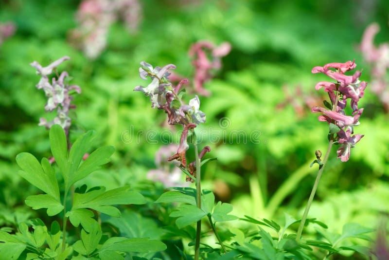 Purple Corydalis solida fumewort flowers royalty free stock photography