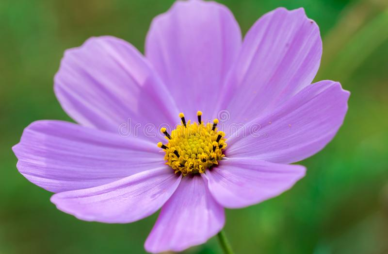 Purple Cosmo Flower royalty free stock photos