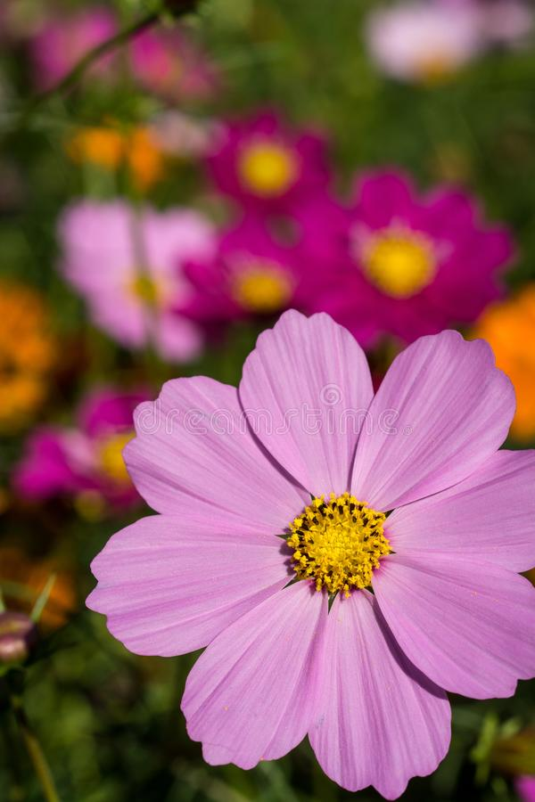 Purple cosmos flower close up royalty free stock image