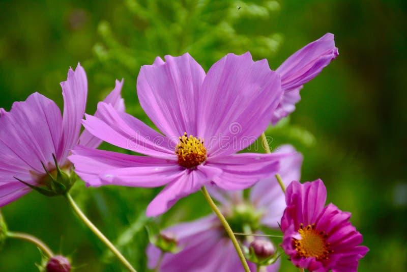 Purple Cosmos Flower in Closeup Photo royalty free stock photos