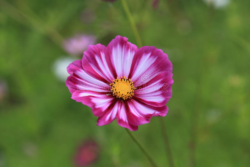 Purple cosmos flower on green background royalty free stock photography