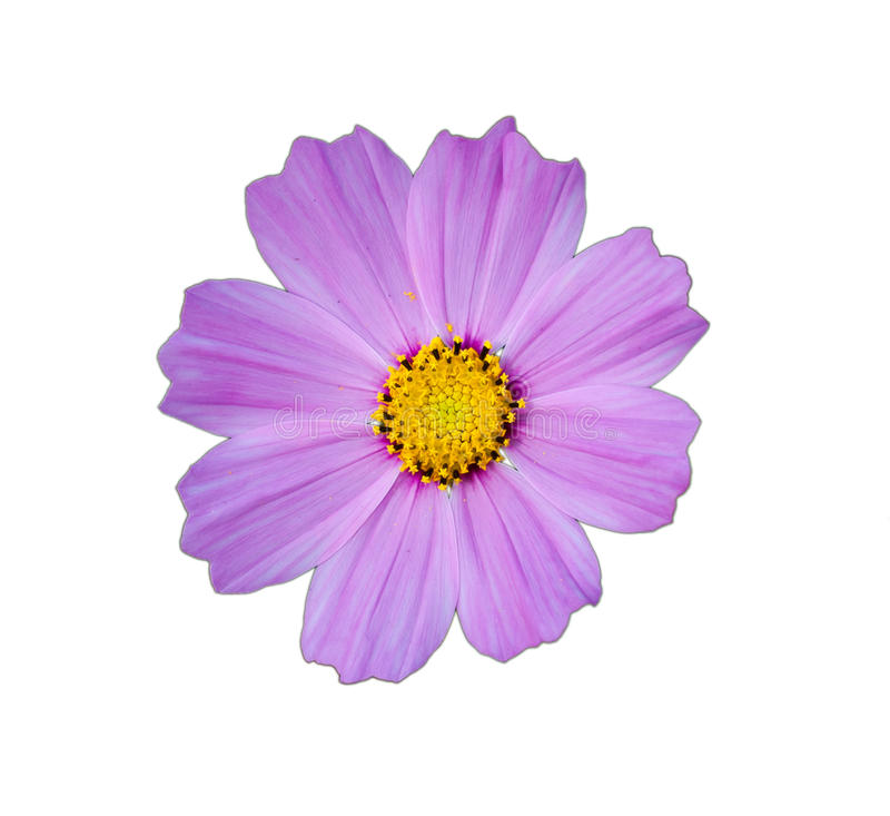 Purple cosmos flower royalty free stock photography