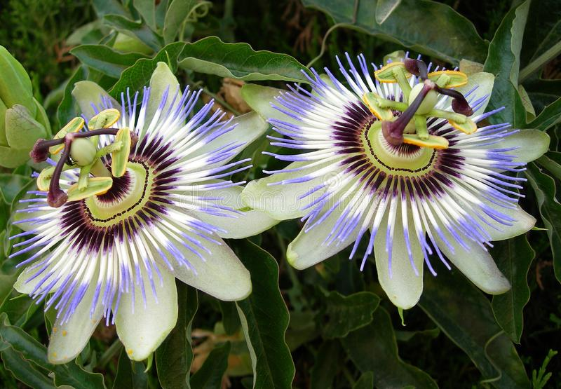 The passionflower royalty free stock photos