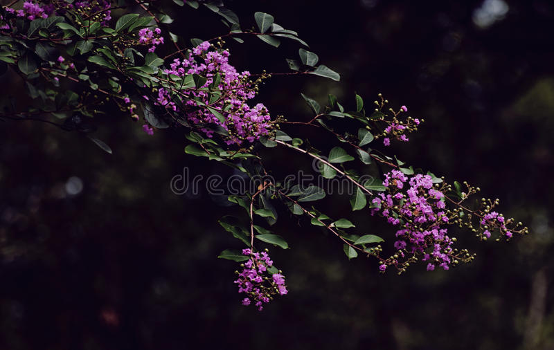 Purple Crepe Myrtle royalty free stock image