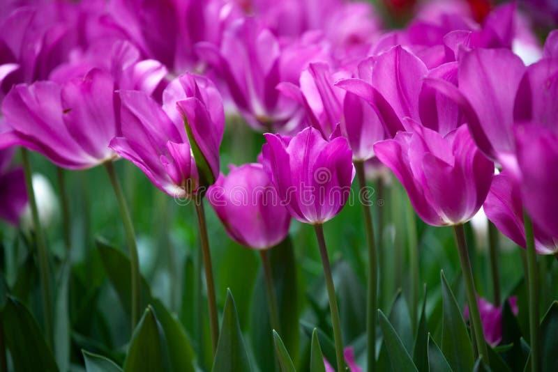 Purple Crimson Fresh Tulips in a Field stock photo