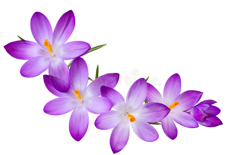 Purple Crocus stock photography