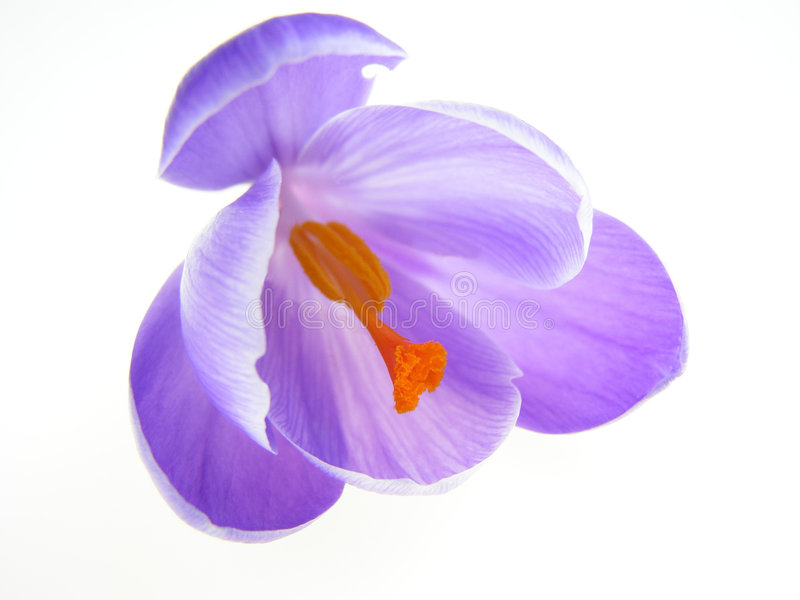 Purple crocus stock image