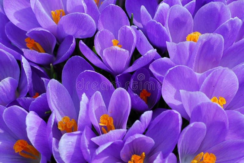 Purple Crocus Royalty Free Stock Images