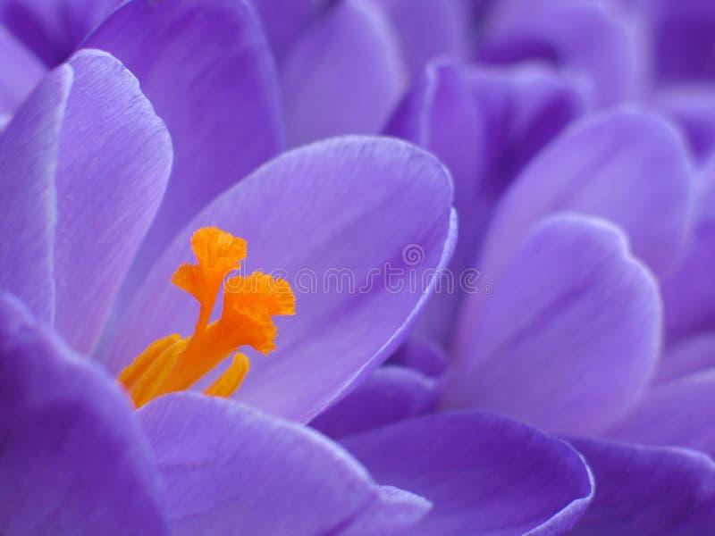 Purple crocus detail stock image