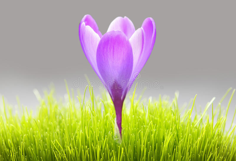 Purple crocus flower in grass. Purple / pink crocus flower growing out or fresh green grass royalty free stock photos