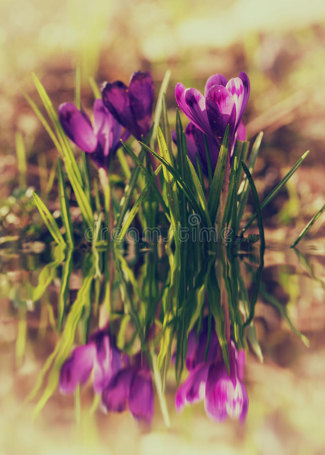 Purple crocus flower in nature. Purple flowers in nature with a reflection in the water - suitable for wallpaper stock image