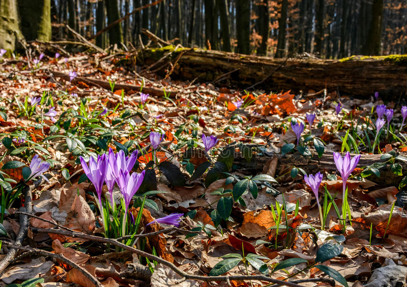 Purple crocus flowers in forest royalty free stock images