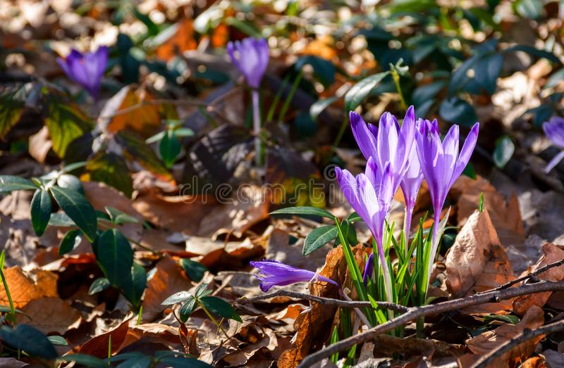 Purple crocus flowers in forest royalty free stock photos
