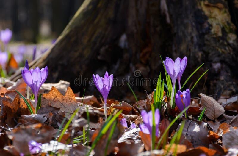 Purple crocus flowers near the stump royalty free stock images