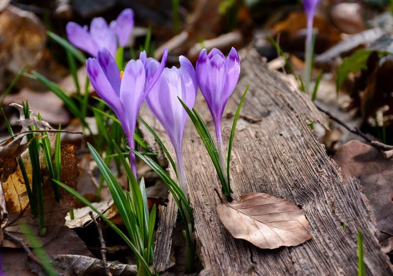 Purple crocus flowers among the weathered foliage royalty free stock photos