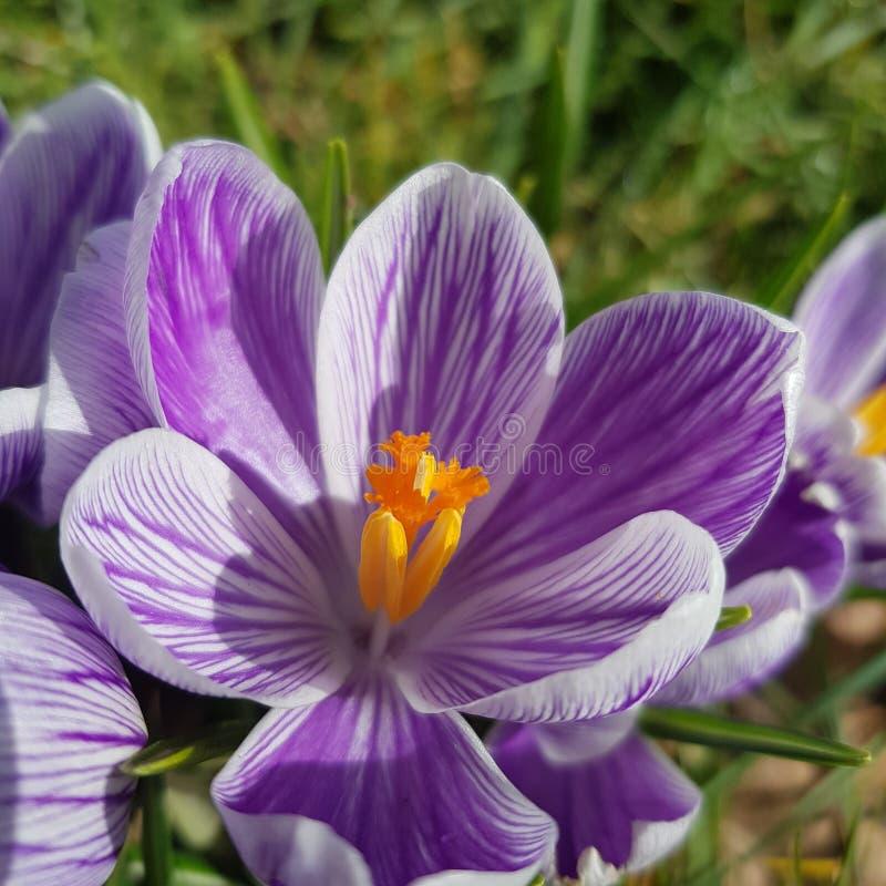 Purple crocus stock photo