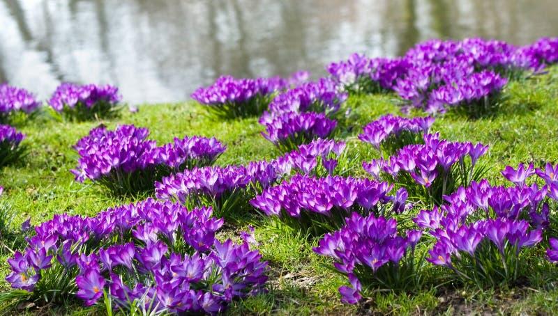 Purple crocus at the waterside stock photo