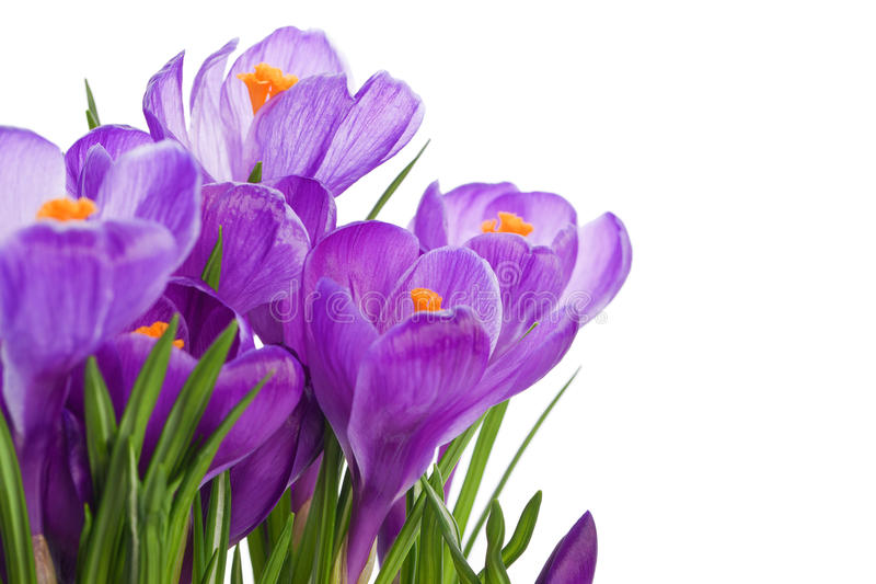 Purple crocus wild flower. Plant in spring royalty free stock photos