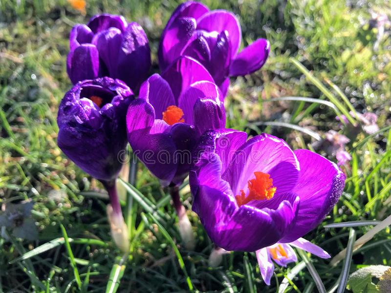 Purple crocuses in early spring. Purple crocuses with dewdrops  in early spring, lodon, 2018 stock photos