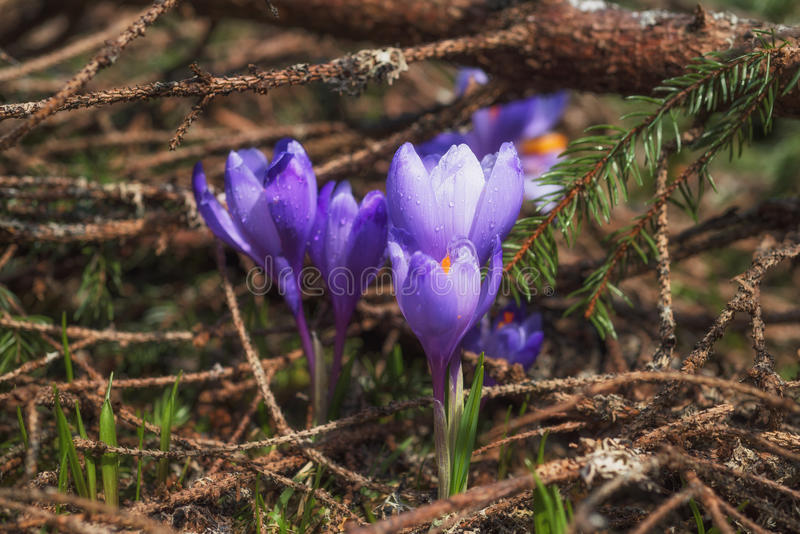 Purple crocuses in the forest royalty free stock photo