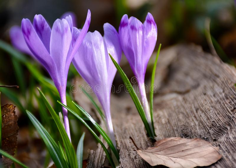 Purple crocuses in the forest stock photography