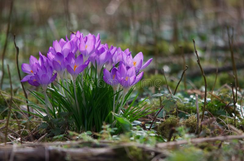 Purple crocuses in sunlight. Purple crocus first annual flowers among trees in the UK in late February 2019 stock photography