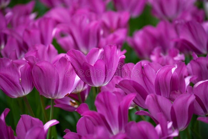 Purple Cyclamen Fresh Tulips in a Garden stock images