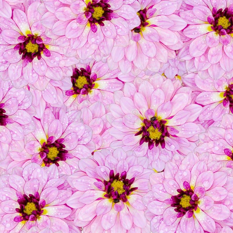 Purple dahlia flower with water drops pattern. Beautiful purple dahlia flower background stock images