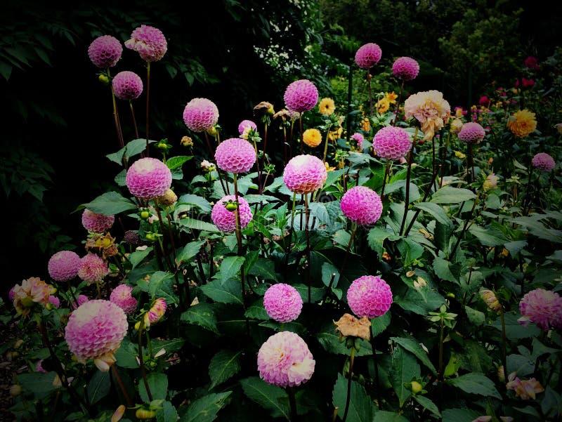 Purple Dahlia Flowers royalty free stock images