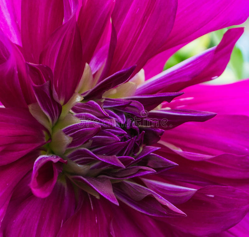 Purple dahlia royalty free stock photo