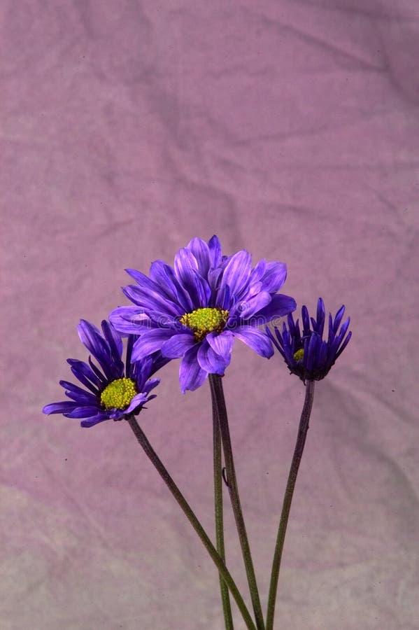 Free Purple Daisies Royalty Free Stock Image - 7536
