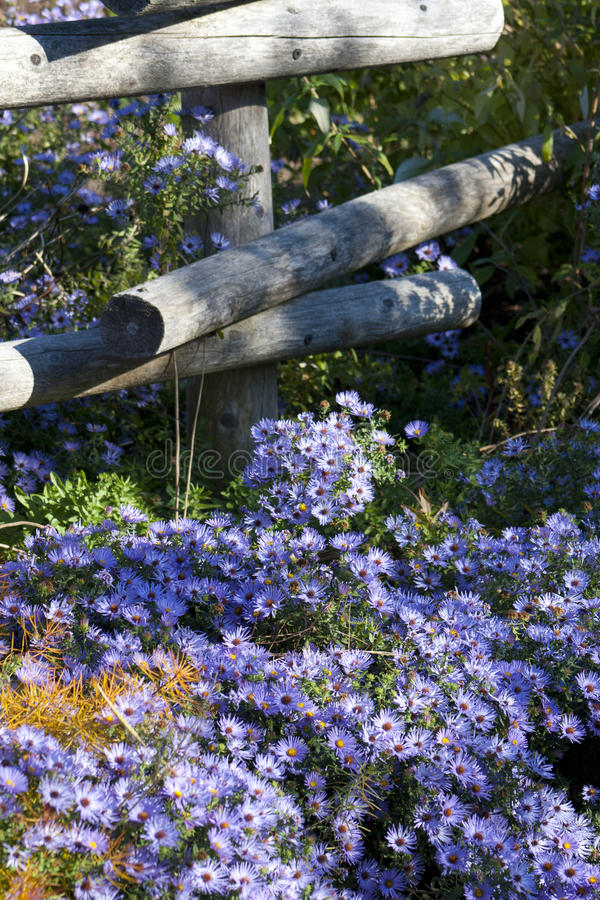 Purple daisies along the path stock images
