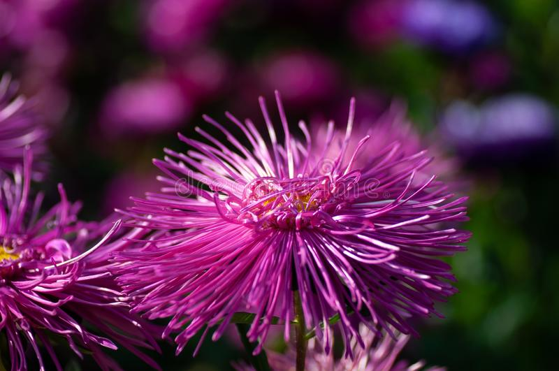 Purple Daisies Aster close up in early Autumn.  royalty free stock photo