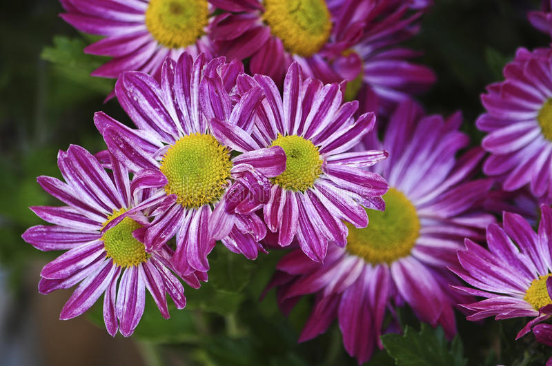 Purple daisies stock images