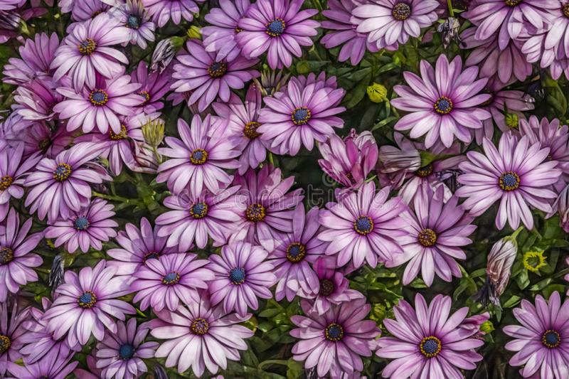 Purple daisies in nature. Close up purple daisies in nature royalty free stock images