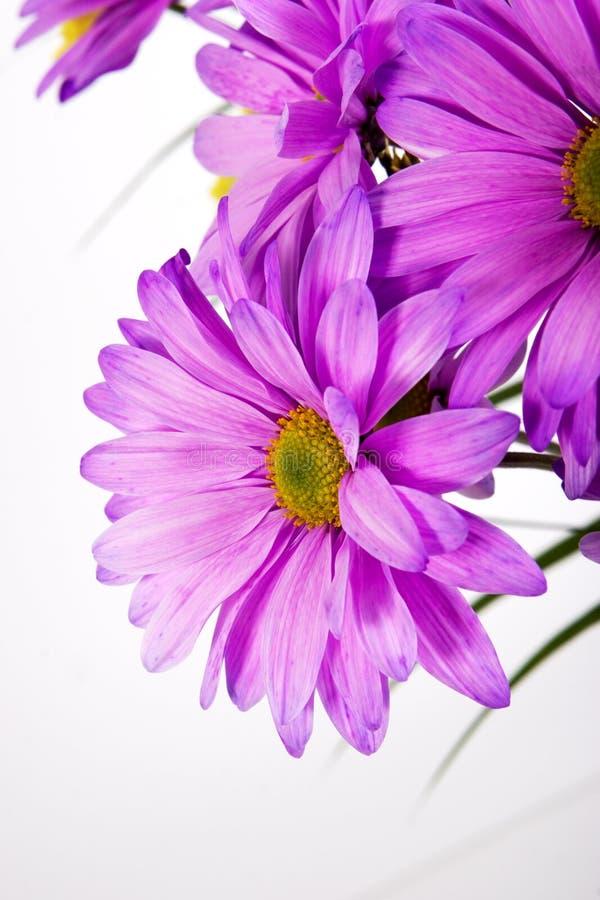 Purple daisy royalty free stock photos