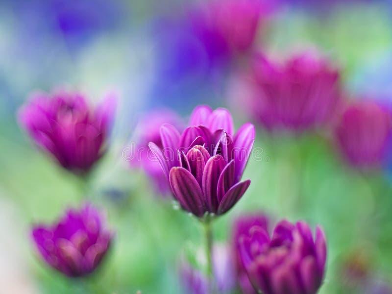 Purple Daisy royalty free stock photography