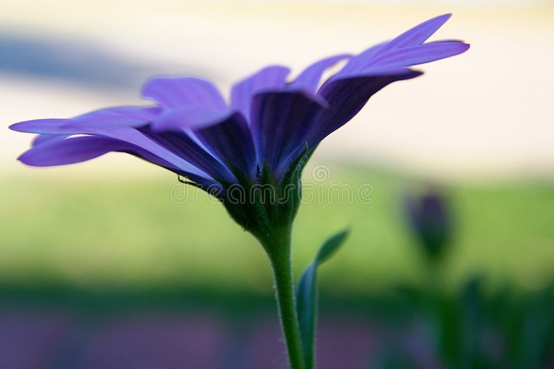 Download Purple Daisy stock image. Image of flower, leaf, side, petal - 968525