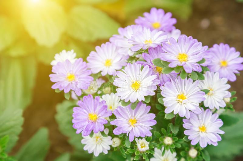Purple daisy flower. Flower and green leaf background in garden at sunny summer or spring day. stock image
