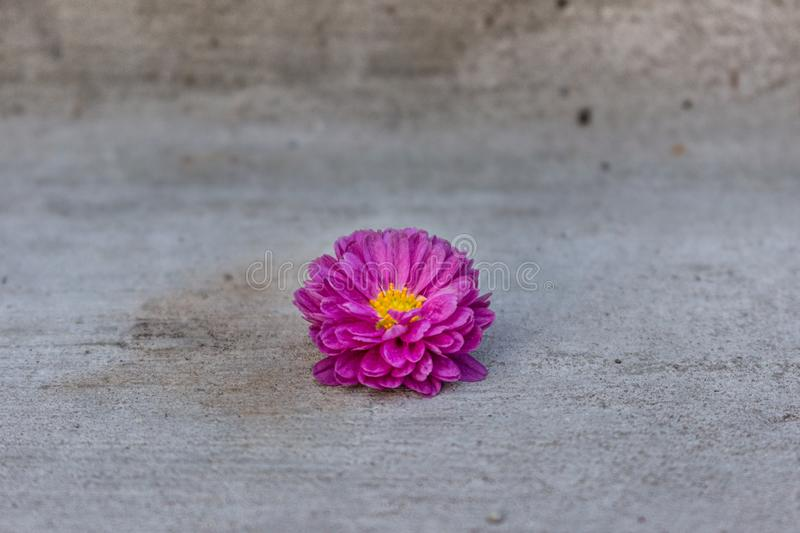 Purple daisy flower on a grey concrete background. royalty free stock images