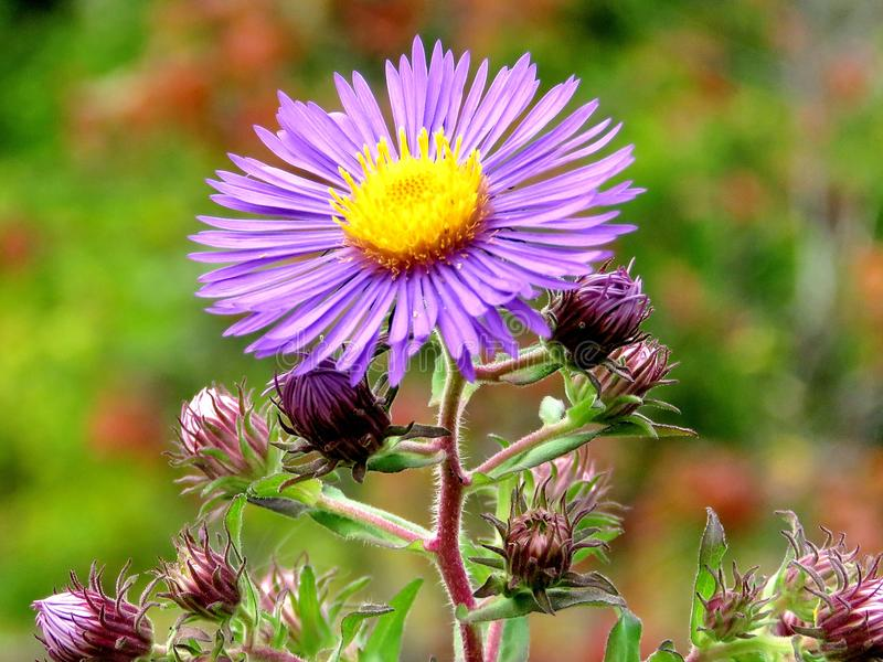 Thornhill purple daisy 2017 royalty free stock photography