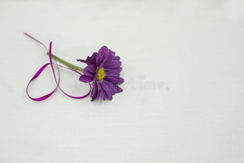 Purple Daisy. A pleasant surprise for the girl who wants you to fail royalty free stock image
